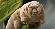Tardigrades are so tough that they'll survive apocalyptic asteroids and gamma ray bursts, astrophysicists say. Biologists say nope.