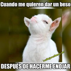 This funny baby goat quote is so funny. Animal Memes, Funny Animals, Cute Animals, Farm Animals, Funny Goat Memes, Funny Goats, Funny Farm, Funny Babies, Cute Babies