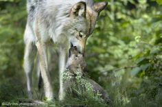 Timber Wolf Mom and Pup - Parc Omega Nature Preserve, Montebello, Quebec | by Rudy in Ottawa