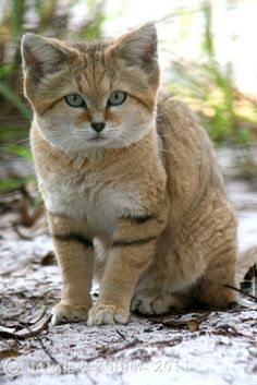 Matted Photo - Canyon Sand Cat