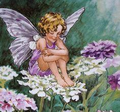 Candytuft Fairy