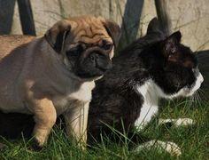 Pug & Cat