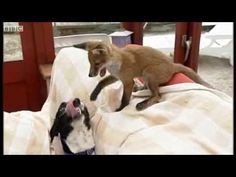 Cute - Fox And Dog Are Best Buds  (VIDEO)  //  http://boringly.com/cute-fox-and-dog-are-best-buds-video_9b2ae9696.html