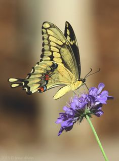 Butterfly On Flower, Butterfly Project, Butterfly Pictures, Butterfly Kisses, Beautiful Bugs, Beautiful Butterflies, Insect Photography, Art Photography, Pictures To Paint