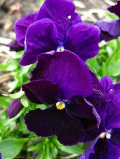 Matrix Purple Pansies in the Potager ⓒ michaela - thegardenerseden