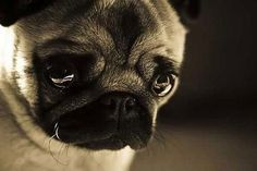 sad pug misses you
