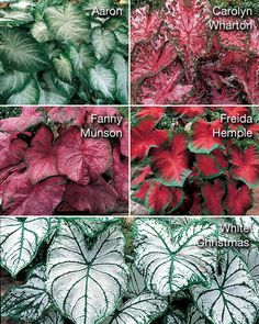 Ear - Caladium bicolor 'Collection' :: Detailed Plant Information