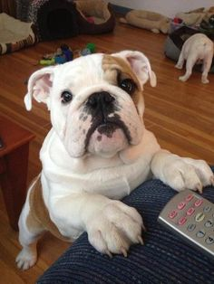 Looks just like my bulldog #bulldogs #buldog Counter Surfer