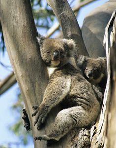 Amazing wildlife - Sleeping Koala Bear and baby photo #KoalaBear