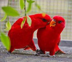 Red Lories (Eos bornea), Indonesia, New Guinea, Australia Rare Birds, Exotic Birds, Colorful Birds, Exotic Pets, Pretty Birds, Beautiful Birds, Animals Beautiful, Nature Animals, Animals And Pets