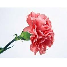 Carnations Carnations Are My Mums Favourite Flower Des Fleurs S