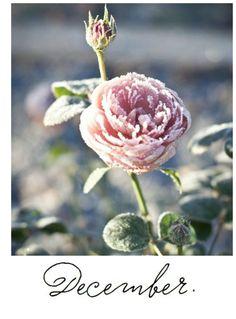 Znalezione obrazy dla zapytania frozen flowers on snow