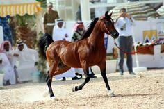 Arabian  Horse 2 - http://www.1pic4u.com/blog/2014/09/23/arabian-horse-2-2/