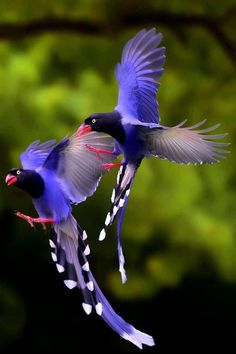 "Facts You Never Knew Taiwan Blue Magpies. The Taiwan Blue Magpie also called ""long-tailed mountain lady"", is a member of the Crow family. It is an endemic species living in the mountains of Taiwan at elevations of 300 to Pretty Birds, Beautiful Birds, Animals Beautiful, Cute Animals, Beautiful Pictures, Funny Animals, Amazing Photos, Beautiful Things, Stunningly Beautiful"