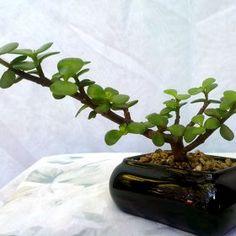 Portulacaria, mini-bonsai en maceta cuadrada echa de cerámica negra. precio: c$ 80. #bonsai, #portulacaria, #suculentos