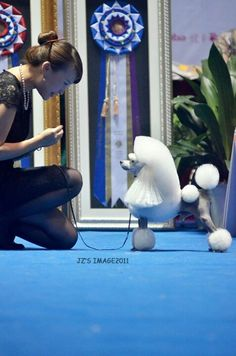 Toy Poodle show trim looks like a 10 to me
