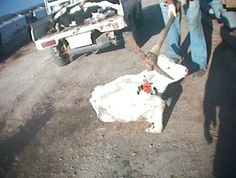 Systematic Animal Rights Abuses It's no secret that animals we eat have to be killed to get to our plates. What is a secret is the systematic animal rights abuses that go on at factory farms worldwide. There are very few laws to protect the welfare of factory farmed animals as it is, but it's all too common to see workers kicking, punching, stomping on or otherwise abusing animals unnecessarily. That's a fucking pick axe that man he hitting the cow with!!