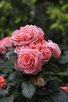 Rosa 'Notre Dame du Rosaire'
