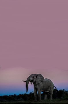 elephant against beautiful blue and purple sky