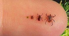 As far as possible, this post will concentrate on pest control tips that would assist keep away as much pests as you can. Some of the advises provided here will deal on specific pests but some may … Tick Bite, Lyme Disease, Pest Control, Real People, Home Remedies, Punk, Simple, Essential Oils, Adhesive
