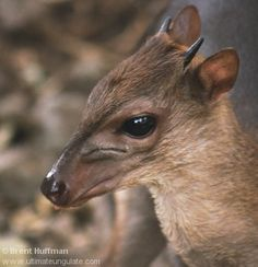 BLUE DUIKER (Adult Male) - Philantomba monticola . . . World's smallest antelope . . . Central Africa, southern South Africa . . . Photo: Brent Huffman
