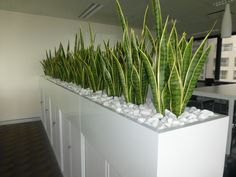 Planter box of Mother in Law's Tongue for a corporate office room divider. Plants supplied by Floral Instinct