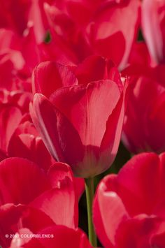 jeroen koeman has shared 1 photo with you! Beautiful Flowers Photos, Flower Photos, Red Tulips, My Favorite Color, Spring 2016, Darwin, Rose, Bulbs, Plants