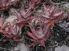 Aloe arenicola Cacti And Succulents, Meat, Cactus, Image