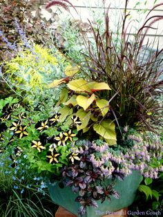 .Cherrywood purple fountain black yellow petunia lime coleus