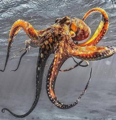 21 An impressive octopus - meowlogy Octopus Photography, Underwater Photography, Animal Photography, Underwater Creatures, Ocean Creatures, Underwater World, Kraken Octopus, Octopus Art, Octopus Photos