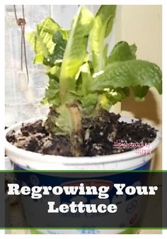 Regrowing your lettuce is a  quick, easy, and super cheap way to have lettuce all year round fresh!  It's super easy to do as well! The Homesteading Hippy #homesteadinghippy #fromthefarm #gardening