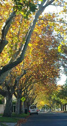 Awesome autumn colours around Toorak, Melbourne Melbourne Victoria, Autumn Colours, Perth, Australia, Landscape, Awesome, Nature, Plants, Photography