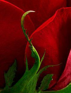 Petals & Sepal