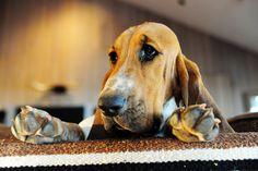 I love basset hounds!