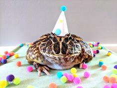 My Pacman Frog Celebrates Her Hatchday! Nickolas Cage, Pacman Frog, Frog Life, Frog Pictures, Funny Animal Photos, Cute Frogs, Frog And Toad, Reptiles And Amphibians, Party Hats