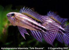 Over members talking cichlids Tropical Freshwater Fish, Tropical Fish Aquarium, Freshwater Aquarium Fish, Planted Aquarium, Big Aquarium, Fishing World, Best Fishing, Fishing Guide, Beautiful Tropical Fish
