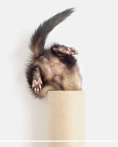 """Screw driver."" ""Check."" ""Monkey wrench."" ""Check."" ""Salmon treats..."" ""Nice try Moose."" #ferret #ferrets #furbaby #IGersJP #ふわもこ部 #ferretsofinstagram #instaferret #ferretgram #フェレット #ferretlove #ferretism #ferretcute_insta #хорек #ferretlife #igcutest_animals #buzzfeedpets #furet #ferretstagram #weeklyfluff #frettchen #ferretlover #fritte #ふわもこ部 #ferretfun #хорьки #ferretoftheday #キョトン顔 #huron #vscocamera #iloveferrets @preview.app"