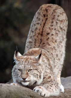 Superb Nature - beautiful-wildlife: Eurasian Lynx by © safi kok Beautiful Cats, Animals Beautiful, Cute Animals, Big Cats, Cats And Kittens, Eurasian Lynx, Lynx Lynx, Lynx Kitten, Cat Bobcat