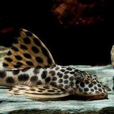 """FreshWater Fish Community on Instagram: """"Reposted from @garneliode L75 - Leopard-Trugschilderwels 🐆  Neu im Shop 💚 . .  Der wunderschöne großpunktige Leopard Trugschilderwels ist…"""""""