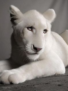 ~~ White lioness photo - 11 months old ~~ by Jean-Pierre Collin ~~ by concepcion