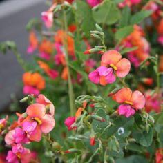 Australian Seed - CHORIZEMA cordatum