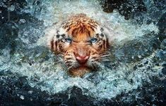 Wet tiger charging