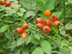 Šípky - Plody Ruže šípkovej