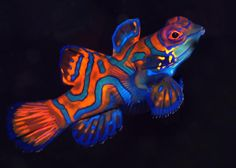 My favorite saltwater fish, Synchiropus splendidus. Otherwise known as the Mandarin Fish. Saltwater Aquarium Fish, Saltwater Tank, Saltwater Fishing, Reef Aquarium, Salt Water Fish, Salt And Water, Orcas, Colorful Fish, Tropical Fish