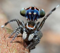 Pictures of an Amazing Spider by Dr. Jurgen Otto: The Peacock Spider!