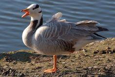 Bar-Headed Goose, Pakistan.