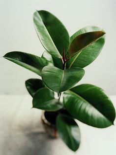 Rubber Tree / This easy-to-grow indoor house plant will grow into an eight-foot-tall tree for a major pop of greenery in a room. If you prefer a smaller plant, just make your rubber tree into a shrub shape by pruning any long stems. The dark green leaves Ficus Elastica, Container Gardening, Gardening Tips, Indoor Gardening, Organic Gardening, Plantas Indoor, Cactus Plante, Belle Plante, Cottage Gardens