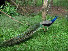 Periyar National Park , Periyar Tiger Reserve in Kerala, India