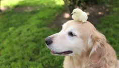 Oh, this? It's just a dog who loves cudd ling up with some adorable baby chicks. http://ow.ly/CzIGq