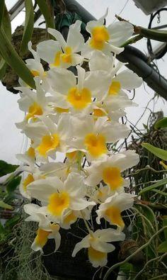 Dendrobium sp